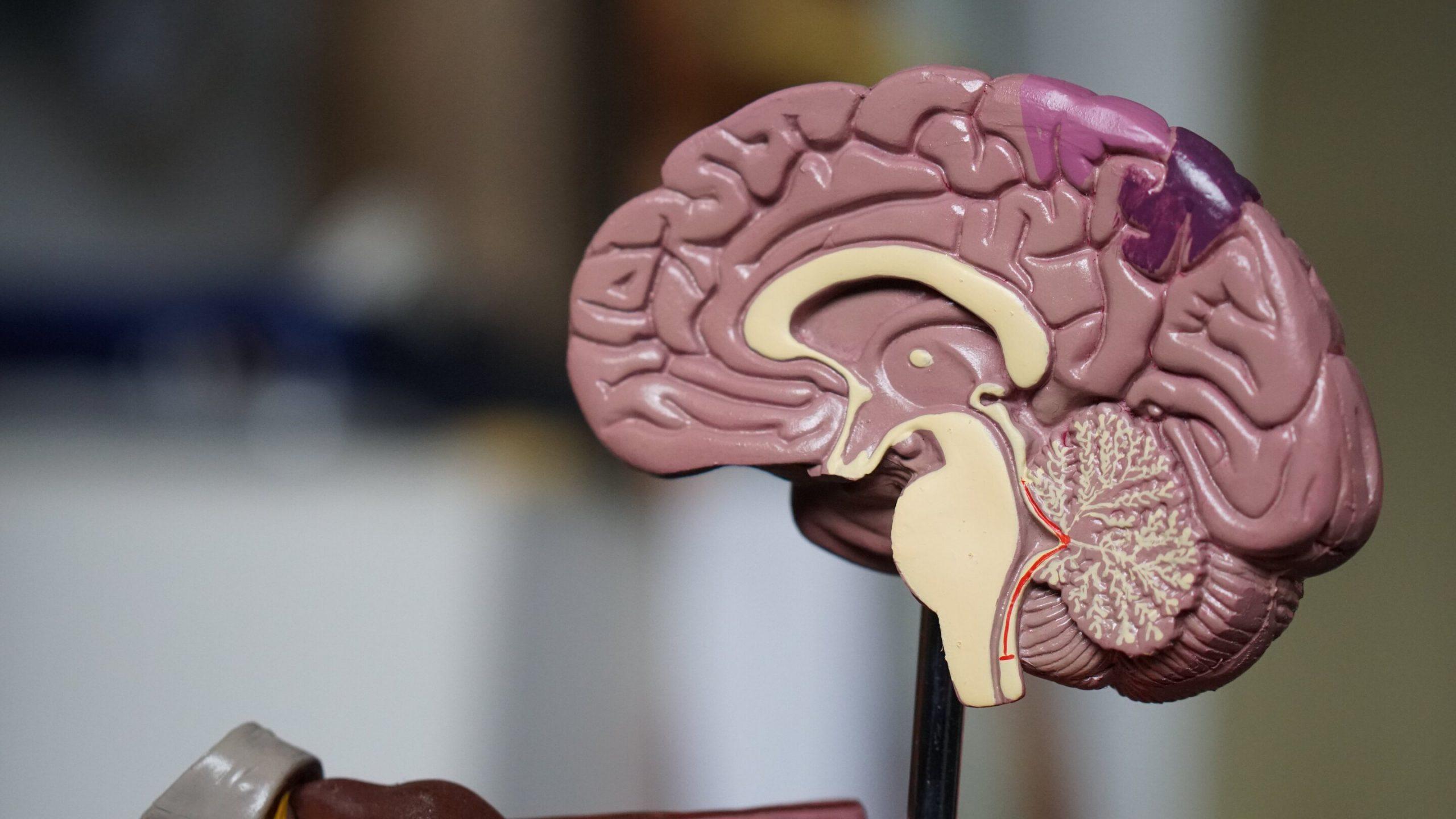 Forscher identifizieren wichtige Rolle von Immunzellen bei der Entwicklung des Gehirns